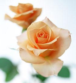 関西薔薇の魔法師奄海るかのセルフマガジンはこちら
